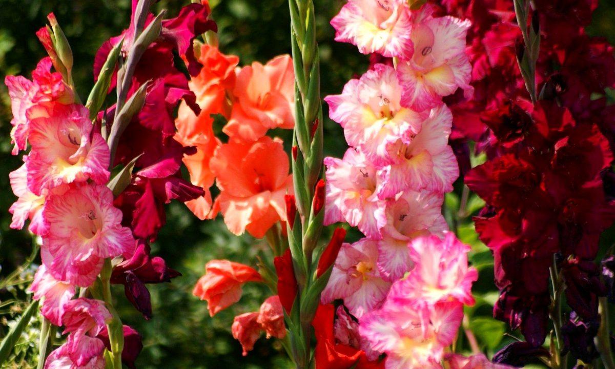 «Гладиолусы – цветы, необычной красоты!» из рубрики Восадули.